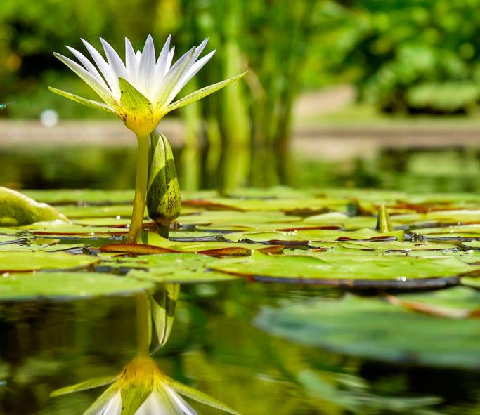 Teichrose - Foto: IlonaF Coleur pixabay